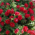 Petunia Viva Double Red