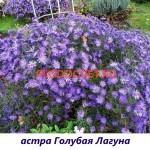 Астра мультифлора шаровидна явысота 35см, цветение август