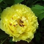ИТО гибрид. Yellow Crown * «Желтая корона»