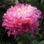 Хризантема крупноцветковая Холидей пурпл.