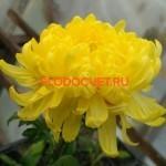 Хризантема крупноцветковая Сноудон еллоу.