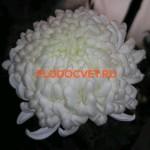Хризантема Регина белая. Высокая. Цветок 17 см. Ранняя.