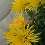 Хризантема Анастасия желтая.