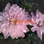 Хризантема Россано роз ( Rossano).
