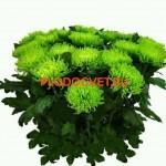 Хризантема крупноцветковая Шамрок (Shamrock)