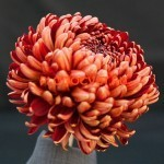 Хризантема крупноцветковая Милестоне ред (Red Milestone).