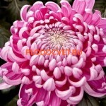 Хризантема крупноцветковая Кассандра ( Cassandra).