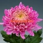 Хризантема крупноцветковая Холидей Пинк.