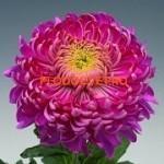Хризантема крупноцветковая Холидей Парпл.