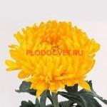 Хризантема крупноцветковая Том пирс желтый.