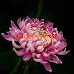 Хризантема крупноцветковая Боли пинк (Boulou pink).