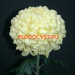 Хризантема крупноцветковая Бланка.