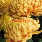 Хризантема крупноцветковая Виктор Рове Еллоу (Victor Rowe Yellow).