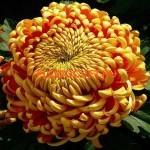 Хризантема крупноцветковая Ханенбург (Hanenburg).
