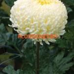 Хризантема крупноцветковая Кремист белый. Ранний.
