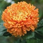 Хризантема крупноцветковая Астро бронз (Astro bronz).