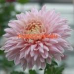 Хризантема крупноцветковая Мариэлла Пинк . .