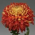 Хризантема крупноцветковая Холидей Рэд.