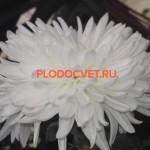 Хризантема крупноцветковая Крымка (Хрустальная ваза).