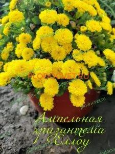 Ампельная хризантема Еллоу