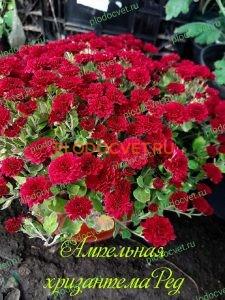 Ампельная хризантема Ред