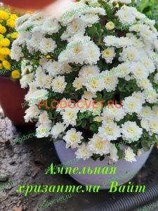 Ампельная хризантема Вайт