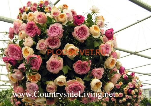 david-austin-english-roses