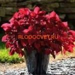 coleus redhead