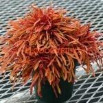 coleus-fancy-feathers-copper
