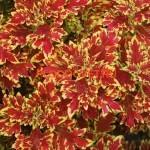 Coleus WILDFIRE™ 'Blaze'. Terra Nova
