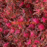 coleus_wildfire_smoky_rose_
