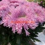 Хризантема крупноцветковая Этруско.