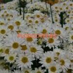 Хризантема веточная Бакарди белая