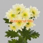 Хризантема веточная Радость крем.