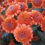 Хризантема корейская Николина