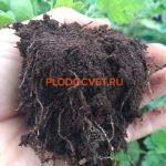 Черенки хризантемы ОПТом