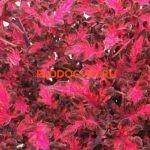 coleus tickled pink