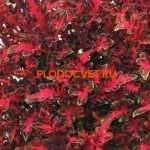 coleus tickled red