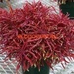 coleus sea urchin red
