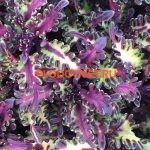 coleus sea monkey purple