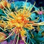 Хризантема горшечная Зуки