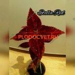 Колеус Stella Red