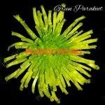 Хризантема горшечная Грин Паракет