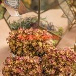 coleus seamonkey apricot