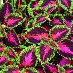 coleus violet tricolor