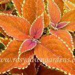 coleus rustic orange