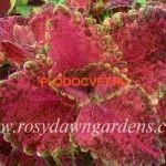 coleus shocking pink