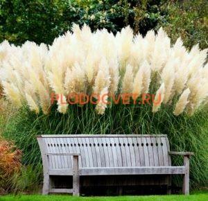 Пампасная трава Вайт Фезер