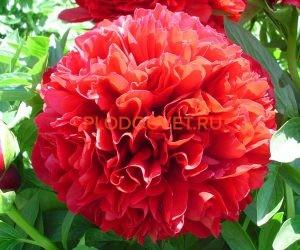 Пион Red Grace (Ред Грейс).