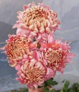 Хризантема Холидей Роз